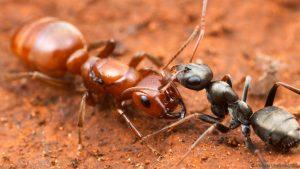 types de fourmis