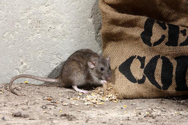 5 méthodes efficaces de contrôle des rats de bricolage